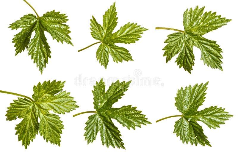 L?pulo verde da folha Isolado no branco jogo fotografia de stock