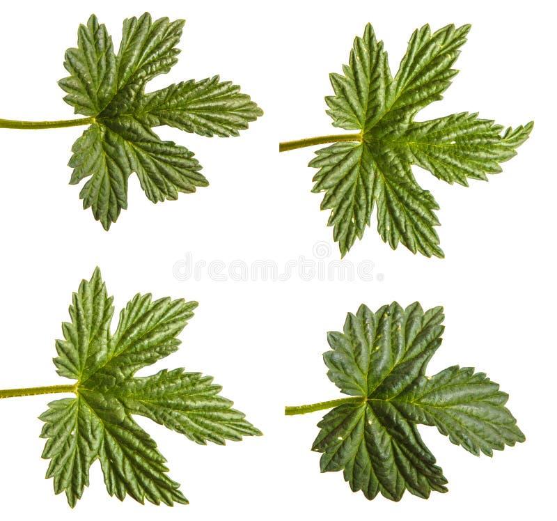 L?pulo verde da folha Isolado no branco jogo imagens de stock