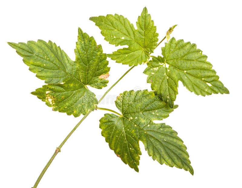 L?pulos verdes da folha Isolado no branco fotos de stock
