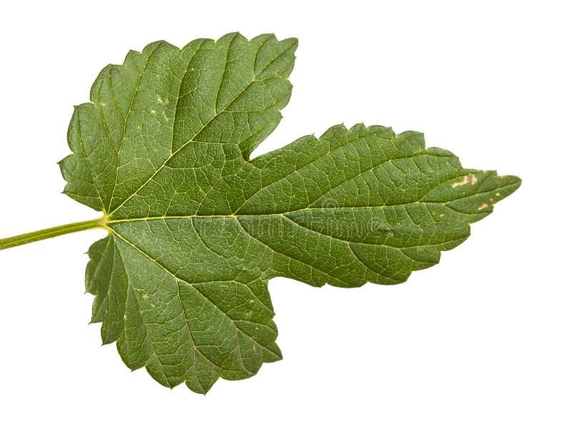 L?pulos verdes da folha Isolado no branco foto de stock