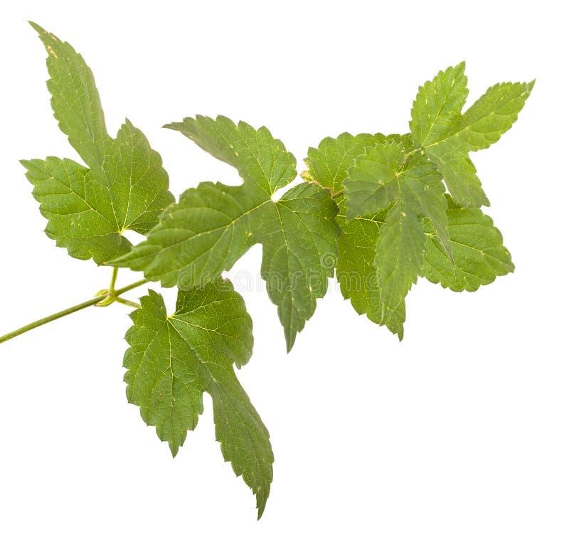 L?pulos verdes da folha Isolado no branco fotografia de stock royalty free
