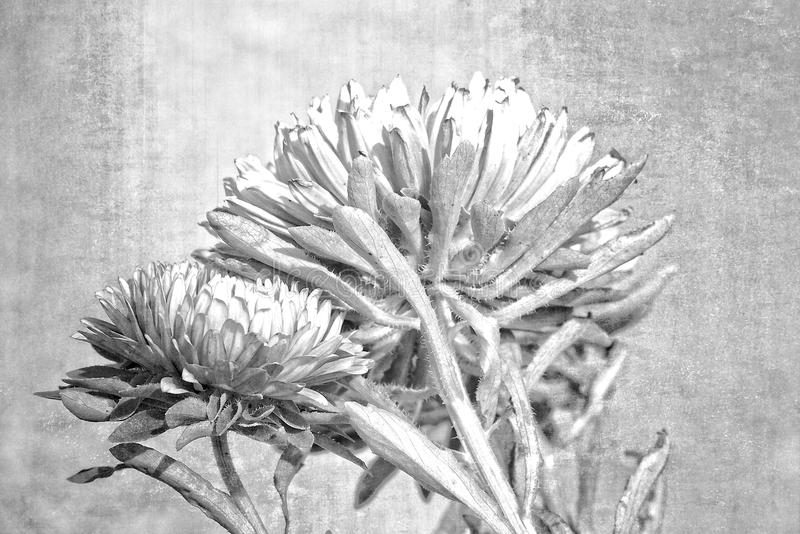 l purple aster on a beige background illuminated by the warm autumn sun stock photo