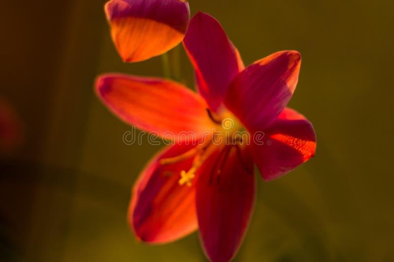 L?rio cor-de-rosa decorativo Zephyranthes da chuva da flor grandiflora no close up borrado do fundo fotos de stock royalty free