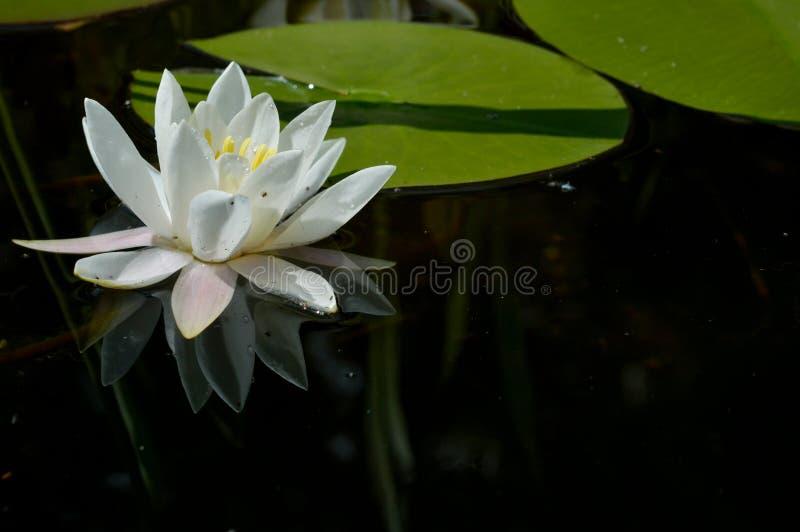 L?rio de ?gua, Nymphaeaceae imagens de stock royalty free