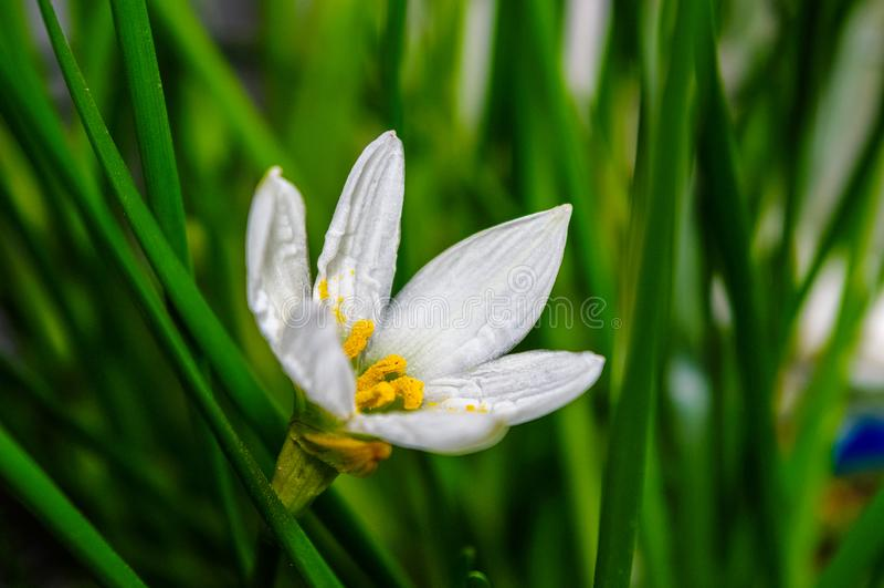 l?rio decorativo Zephyranthes da chuva da flor branca grandiflora fotos de stock