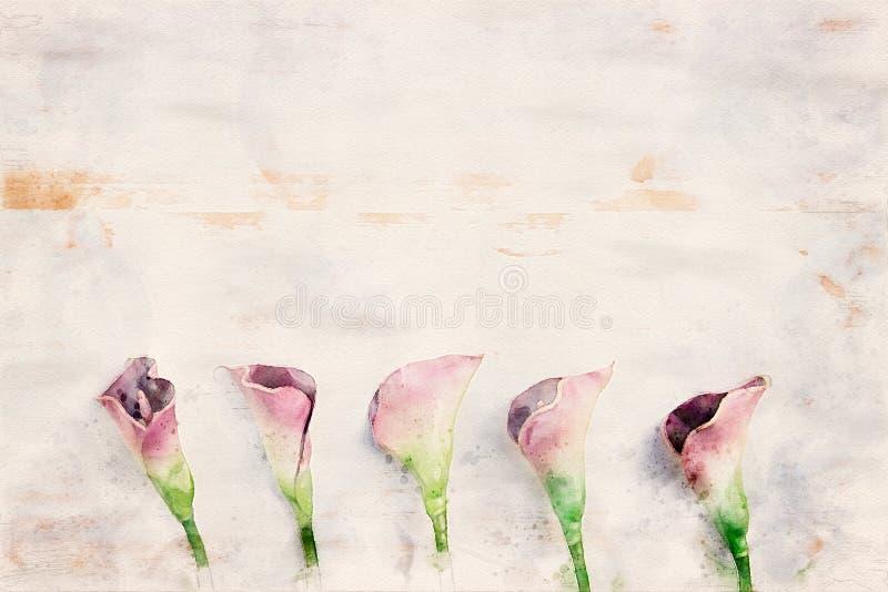 L?rios de calla roxos no fundo de madeira branco ilustração stock