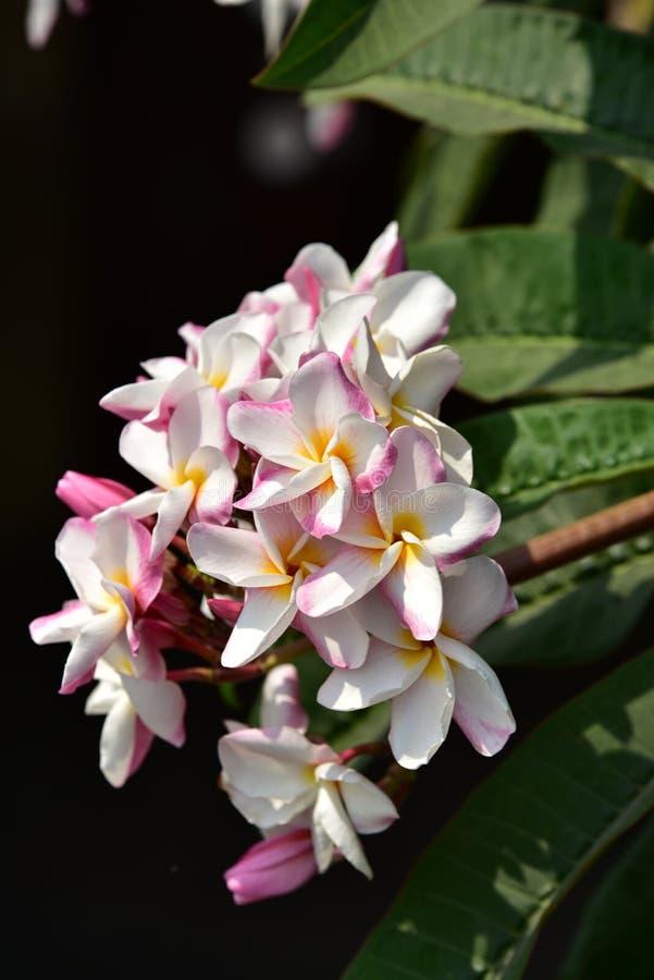 L Roze bloembloesem op zijn boom in de lente stock foto's