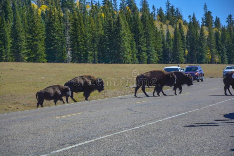 L?s bison i den Grand Canyon nationalparken Arizona fotografering för bildbyråer