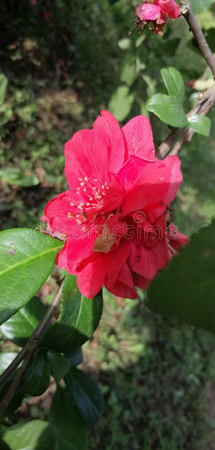 L?s r?d ros i natur arkivfoton