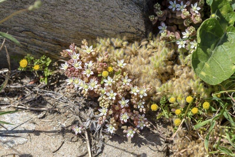 L?s underdimensionerad ssp f?r v?xtSedum eriocarpum delicumen v?xer i n?rbild f?r naturlig livsmilj? arkivfoto