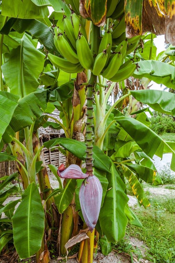 l?ter vara stor ljus t?t green f?r bananen upp treen arkivbilder