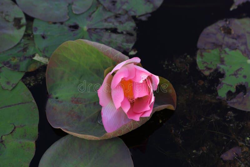 L?tus cor-de-rosa na lagoa foto de stock
