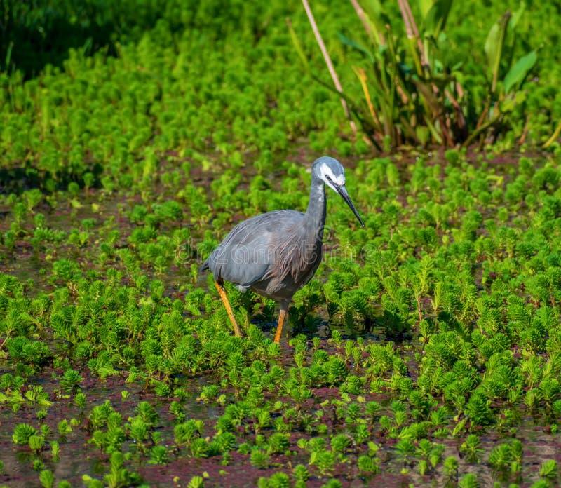 L'uccello affrontato bianco dell'airone sta camminando vicino al lago fotografie stock
