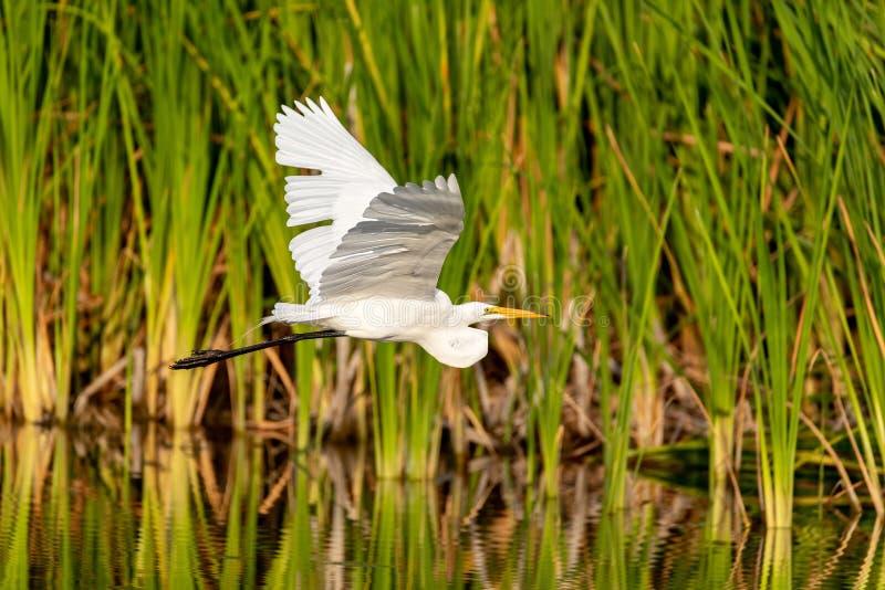 L'uccello alba della grande ardea dell'egretta vola immagini stock libere da diritti
