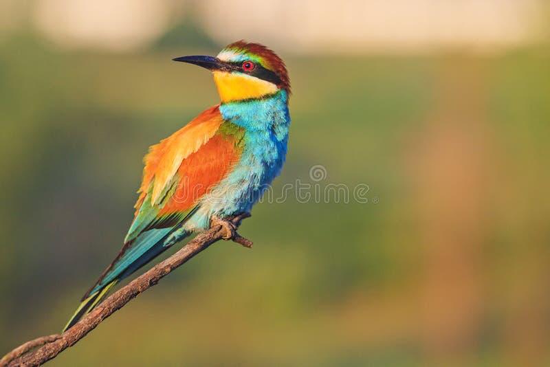 L'uccello colorato si siede su un ramo e guarda al lato immagini stock