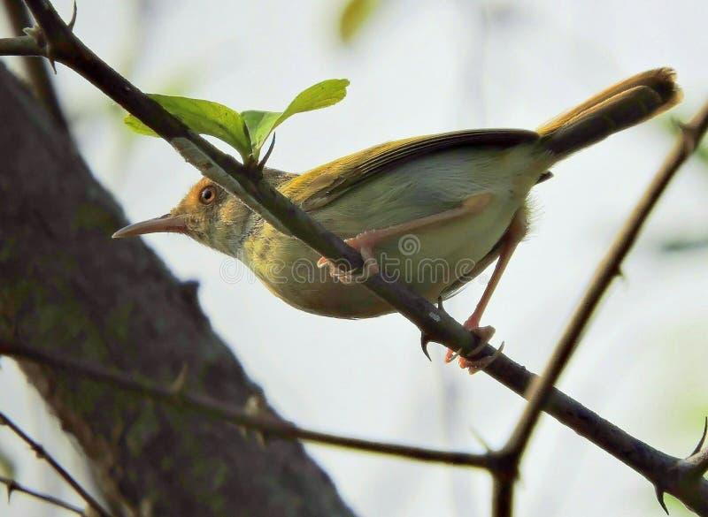L'uccello comune del sarto immagine stock