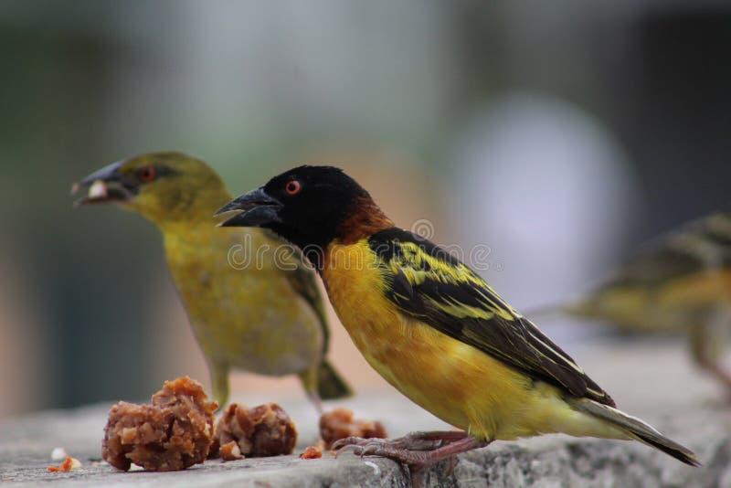L'uccello del tessitore ha una prima colazione immagine stock