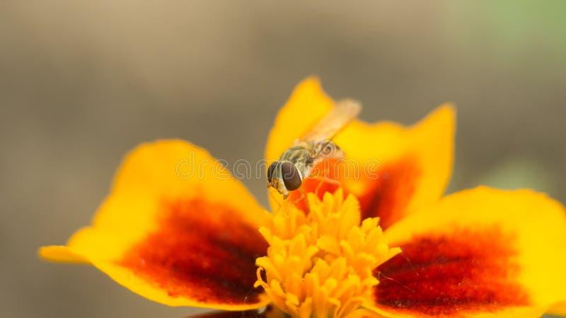 L'uccello dell'insetto della mosca si siede su un fiore giallo-rosso luminoso La superficie è accesa dal sole luminoso Macro foto immagine stock