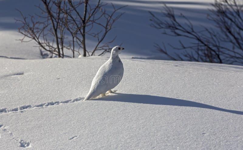 L'uccello della pernice bianca della neve segue l'inverno Canada Rocky Mountains fotografia stock