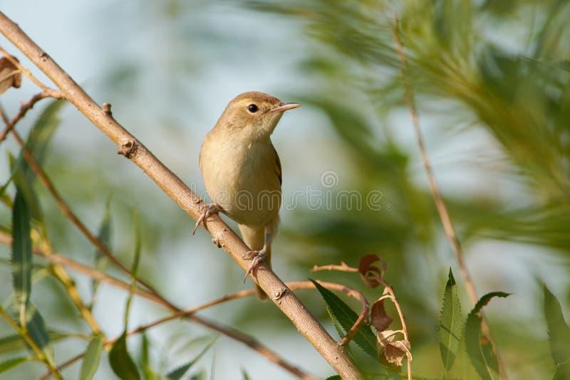L'uccello della silvia della palude si siede su un ramo sottile di un salice piangente, Ne fotografia stock