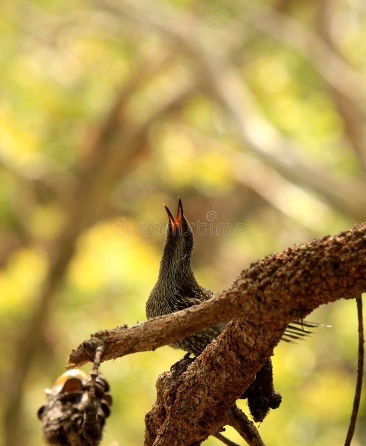 L'uccello dello storno richiede il suo compagno in legno di Noosa (Australia) fotografia stock libera da diritti