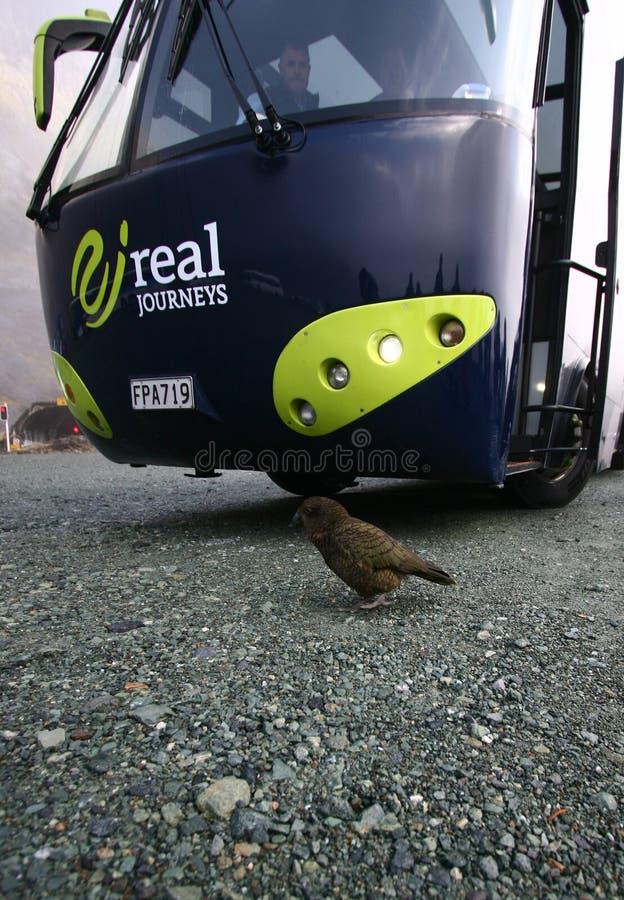 L'uccello di Kea che passeggia davanti al bus di giro in Milford suona, parco nazionale di Fiordland, nuovo Zealandan immagine stock libera da diritti