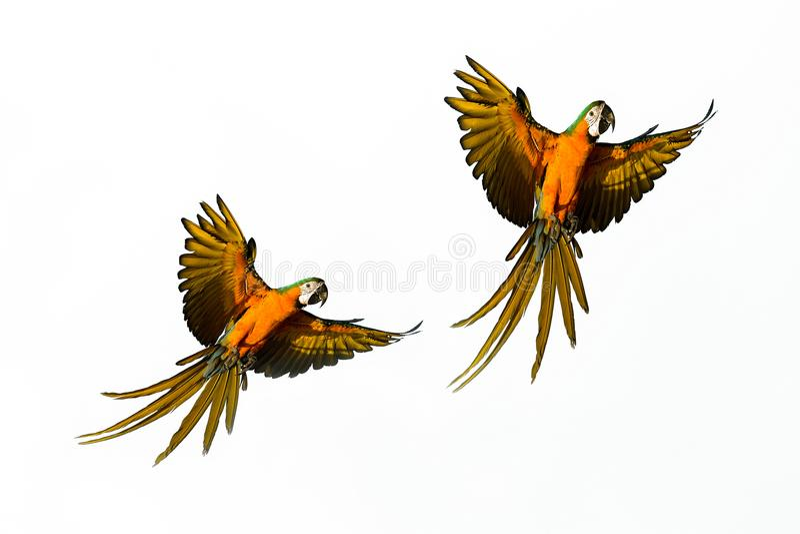 L'uccello di Macore sta volando fotografie stock