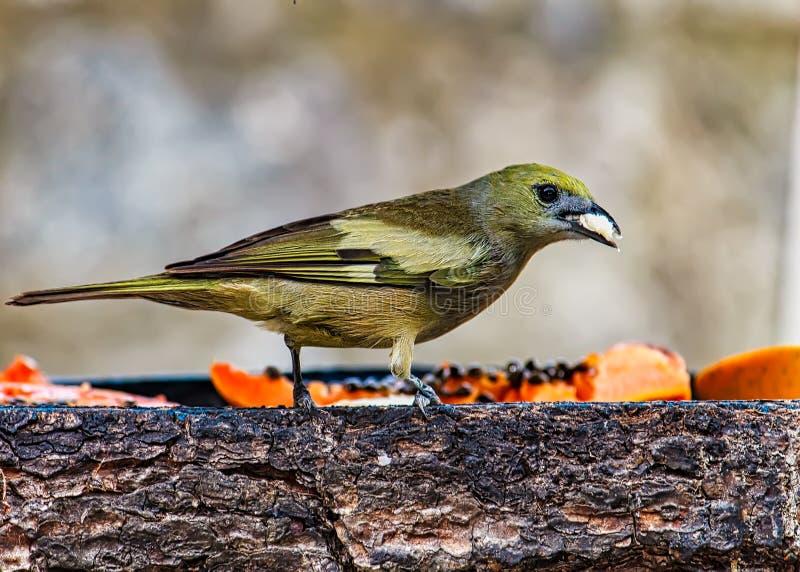 L'uccello di palmarum di Tangara sanhaçu-fa-coqueiro nell'alimentatore dell'aria aperta, uccello tipico della foresta atlantica  fotografia stock