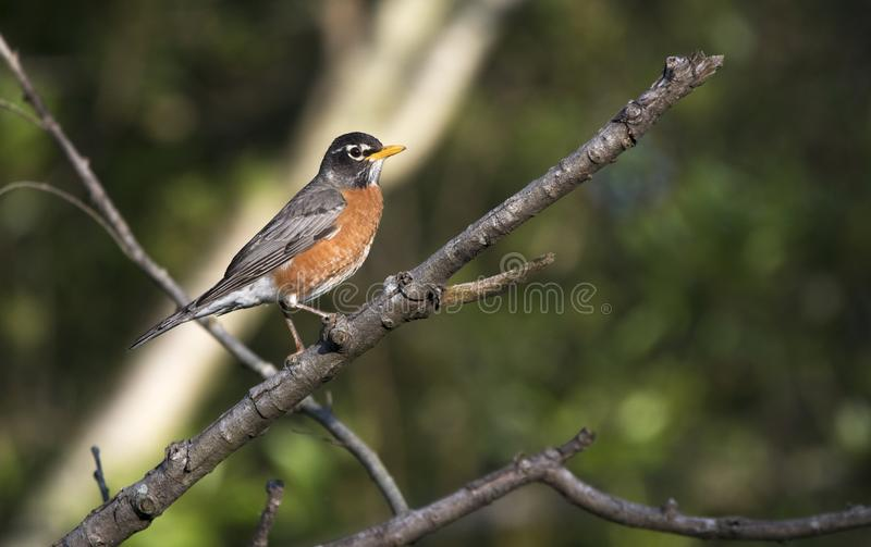 L'uccello di Robin dell'americano si è appollaiato su un albero nella Georgia fotografia stock