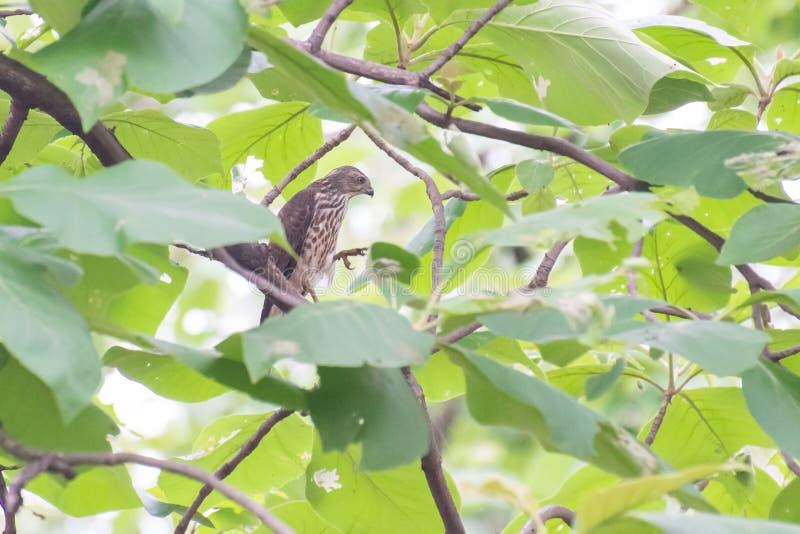 L'uccello di Shikra di prega fotografie stock libere da diritti