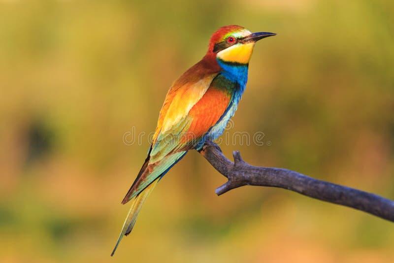 L'uccello meraviglioso nella mattina soleggiata si siede su un ramo immagine stock libera da diritti