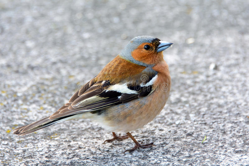 L'uccello nella città, animali selvatici del fringuello è migratore fotografie stock libere da diritti