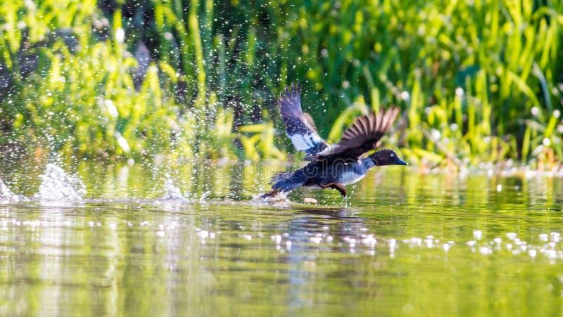 L'uccello spruzza l'acqua immagine stock