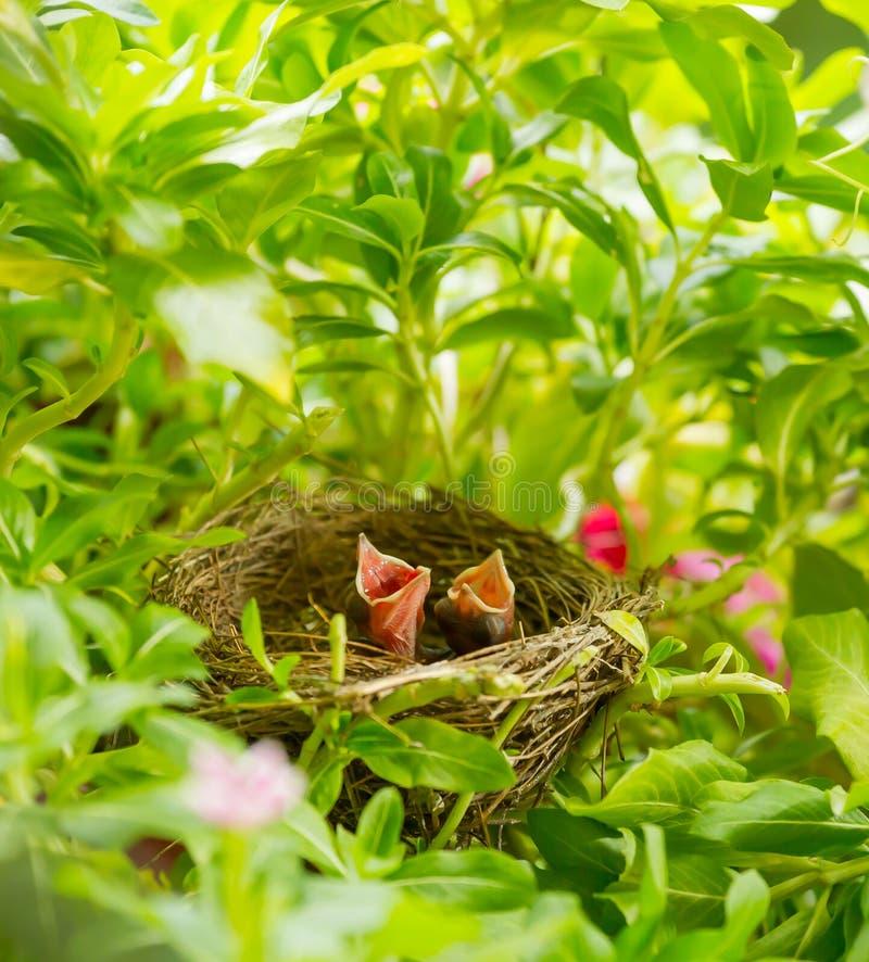 L'uccello Striscia-eared di Bulbul del bambino fotografia stock