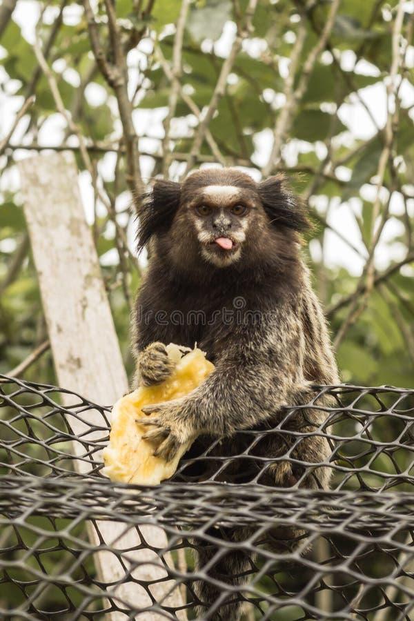 L'uistitì dà la lingua mentre banana delle tenute immagine stock