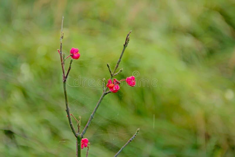 L'ultimo albero di fuso fiorisce su un ramo dell'inverno, fuoco selettivo fotografia stock
