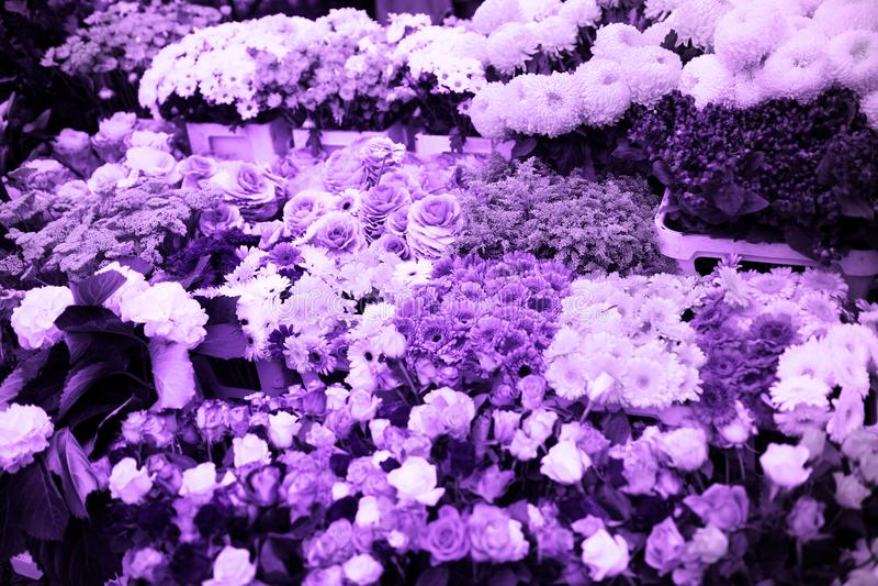 L'ultraviolet fleurit le fond de la couleur de tendance photo stock