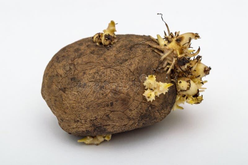 L'una patata dell'anno scorso con le piantine per piantare Isolato su un fondo grigio fotografie stock