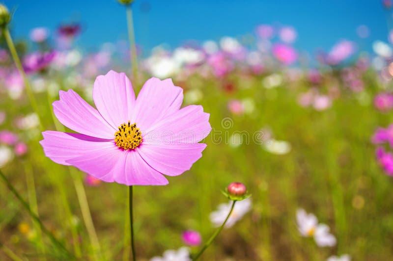 L'universo fiorisce nel giardino sul fondo del cielo blu fotografie stock