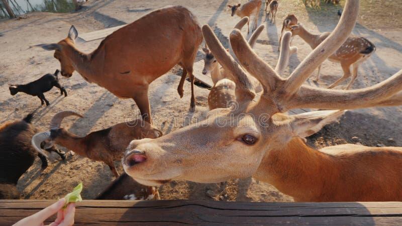 L'uomo alimenta un cervo sveglio, voi può vedere i piccoli cervi ed altri animali immagini stock libere da diritti