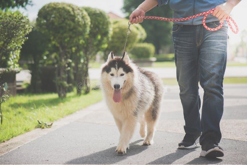 L'uomo asiatico che cammina con un husky siberiano indossa fotografie stock libere da diritti