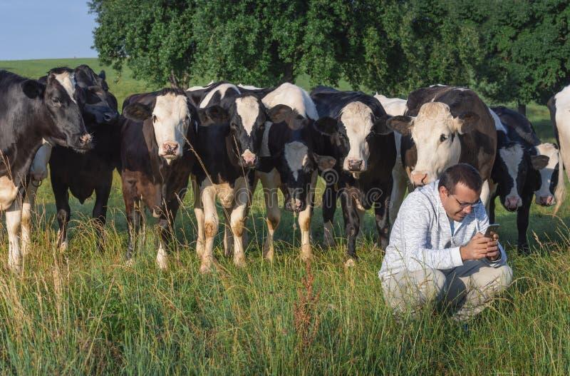 L'uomo con il telefono e le mucche si è riunito intorno lui fotografia stock libera da diritti