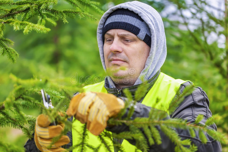 L'uomo con le forbici ha potato i rami attillati in foresta immagini stock