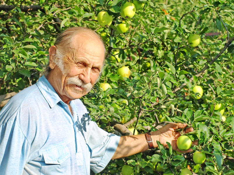 L'uomo felice anziano tiene una mela verde su un Apple-albero. fotografia stock