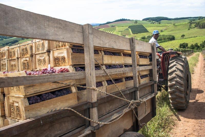 L'uomo guida un trattore caricato con le scatole di legno in una vigna immagine stock libera da diritti