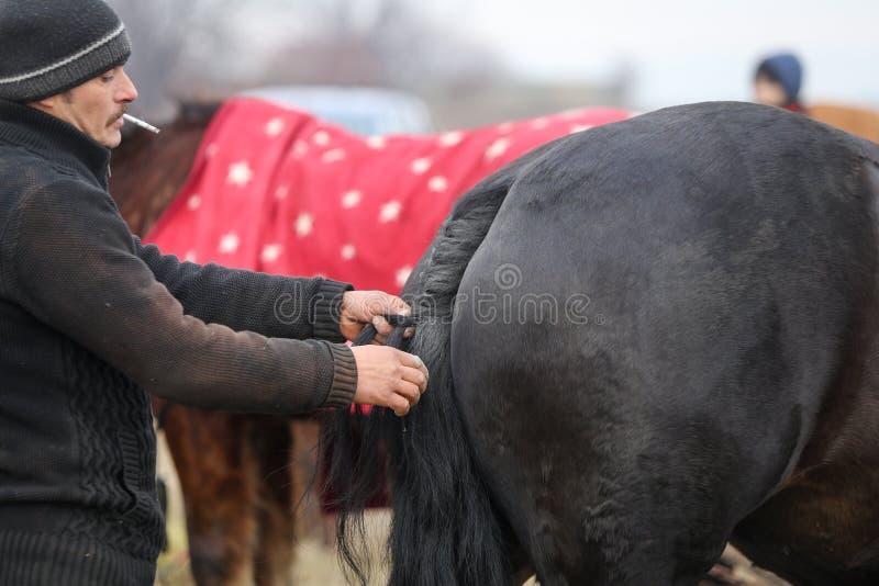 L'uomo intreccia una coda di cavallo prima di un'ippica della celebrazione di epifania fotografia stock