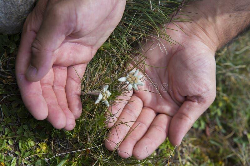 L'uomo maturo passa la protezione dell'edelweiss mazzo alpino del fiore immagine stock libera da diritti