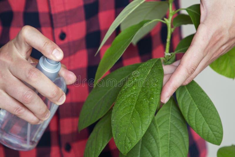 L'uomo prende la cura delle foglie dell'avocado a casa fotografia stock libera da diritti
