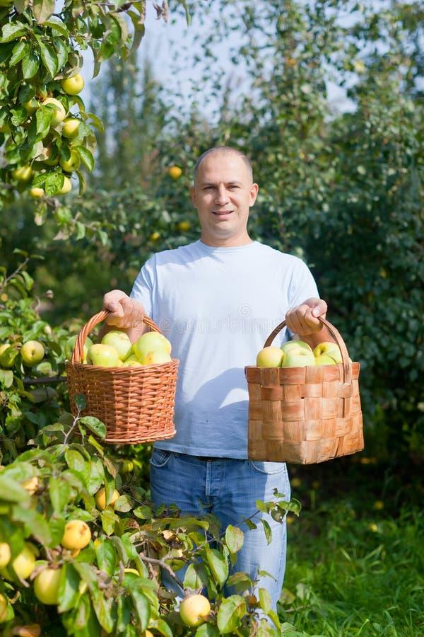 L'uomo riunisce le mele in giardino immagine stock