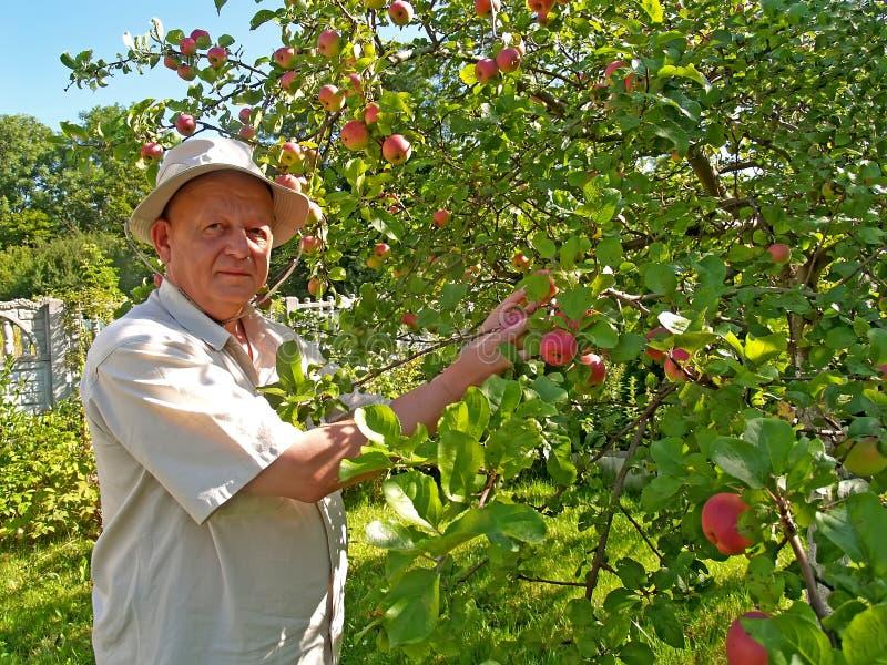 L'uomo riunisce le mele su un sito del giardino fotografia stock libera da diritti